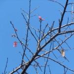 2011年1月28日ヒカンザクラ開花