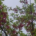 2月2日ヒカンザクラ開花(2011年)