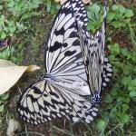オオゴマダラの恋・白黒まだら模様の日本最大の蝶