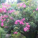 ブーゲンビレア・南国を象徴する熱帯花木のひとつ
