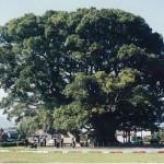 加茂の大楠・国指定特別天然記念物