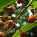 ゲットウの果実赤熟す