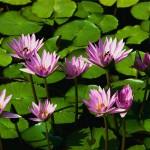 ハナイカダ・葉のほぼ真ん中に花を咲かせる
